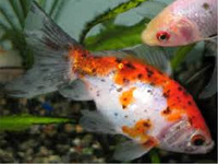 Seylon Aquatics : Aquatic Fish in Sri Lanka